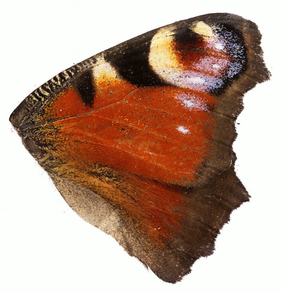 Schmetterlingsflügel mplan 5x stitch 5k